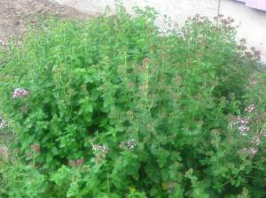 my massive oregano plant!